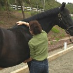 By gently shifting the horse's weight, Mary can feel if a horse loads his limbs evenly.