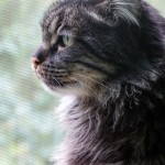 This kitty is not Boots, but Mary's Maine Coon mix, Higgins