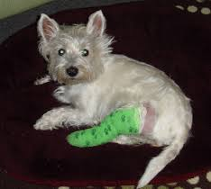 Westie after CCL repair surgery